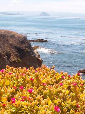 cayucos beach flowers